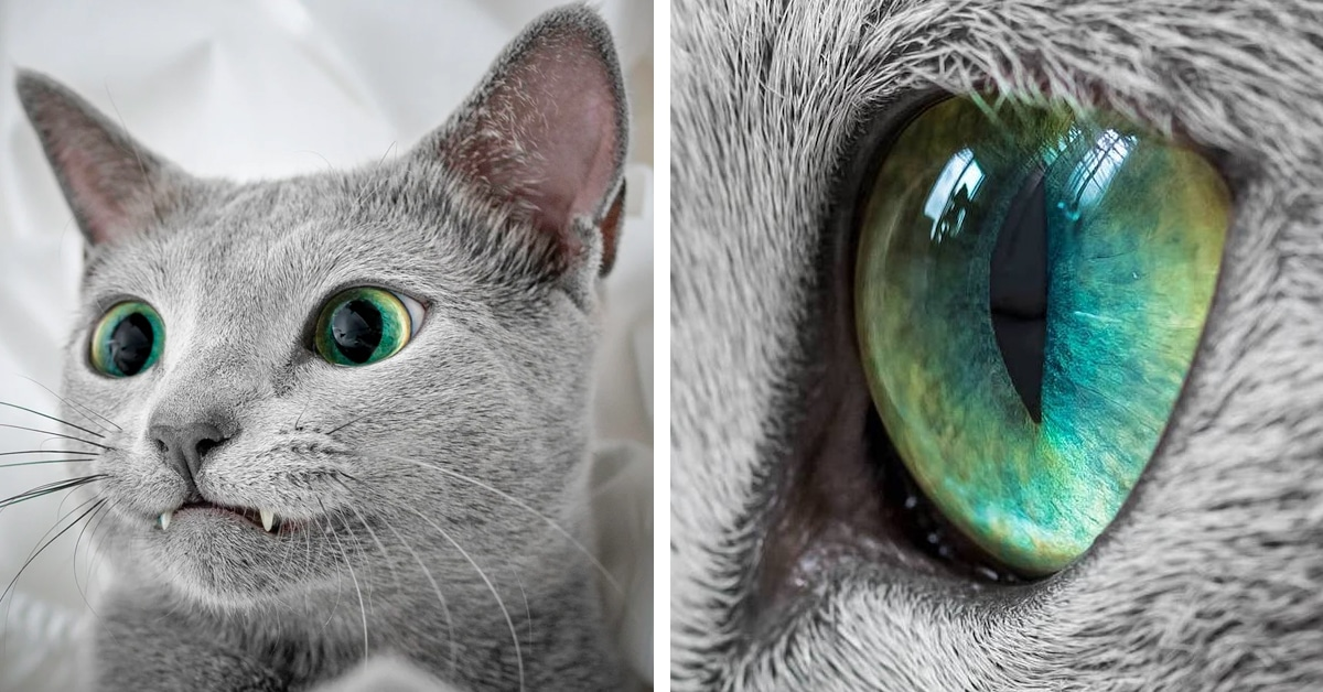 Mesmerizing Photos of Russian Blue Cats with Green Eyes