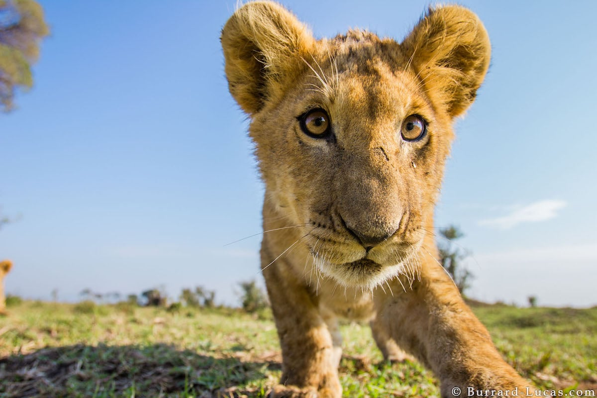Curious Lion Cub by Will Burrard-Lucas