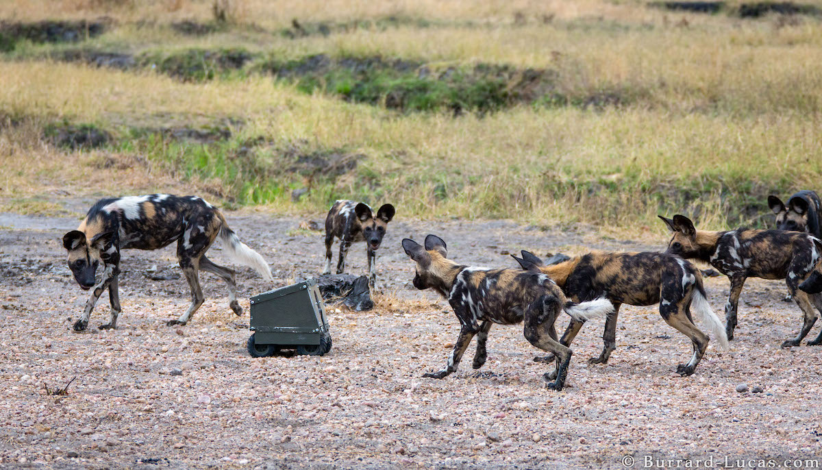 Photographing Wild Dogs with BeetleCam.