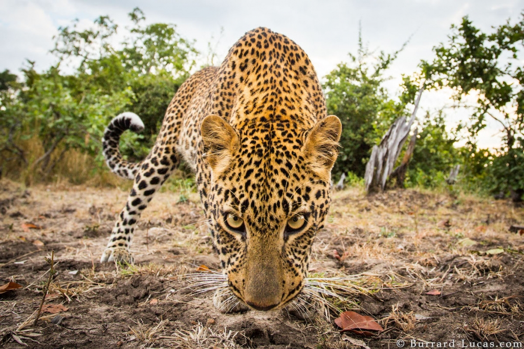 African Wildlife Photography by Will Burrard-Lucas