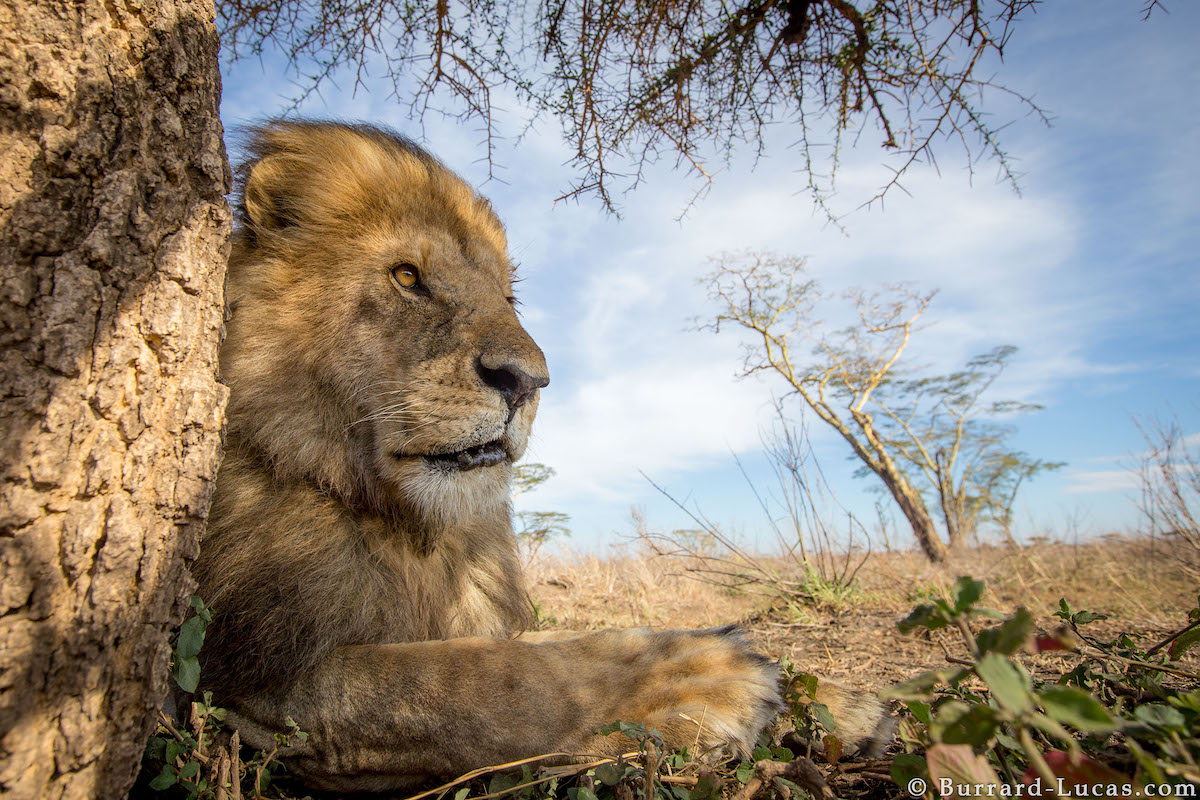 Lion in Serengeti National Park
