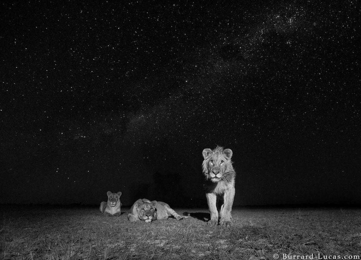 leones de noche por Liuwa Plain National Park