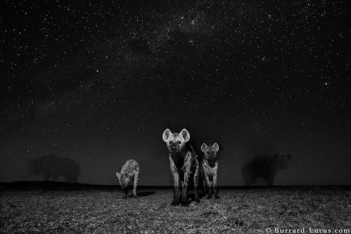 hienas de noche por Will Burrard-Lucas