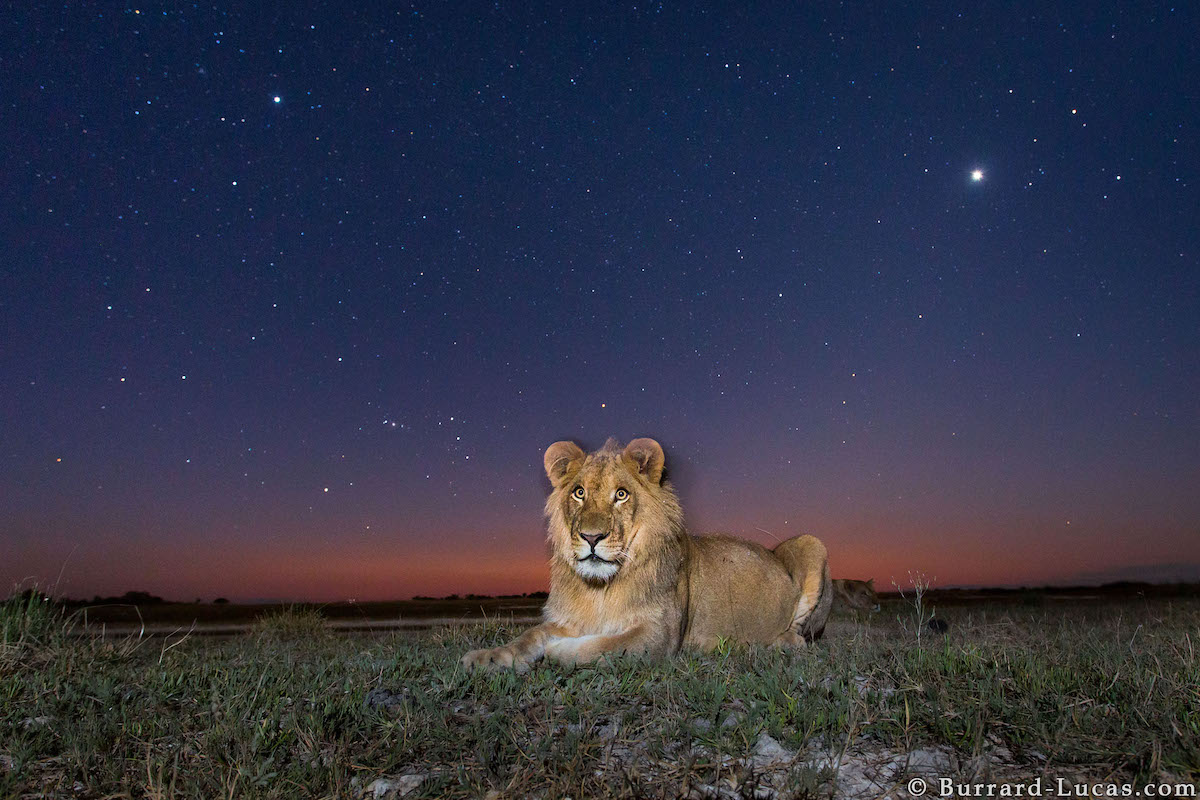 Lion in Zambia at Night
