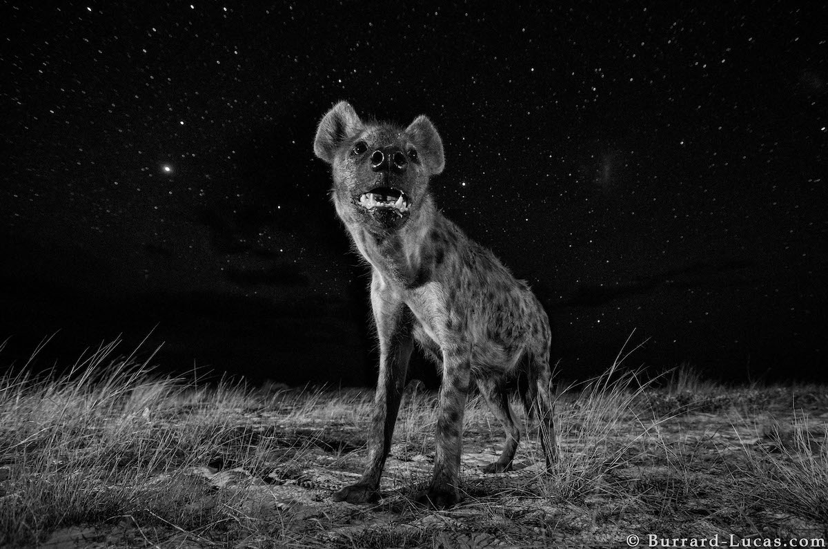 Photo of African hyena at night by Will Burrard-Lucas