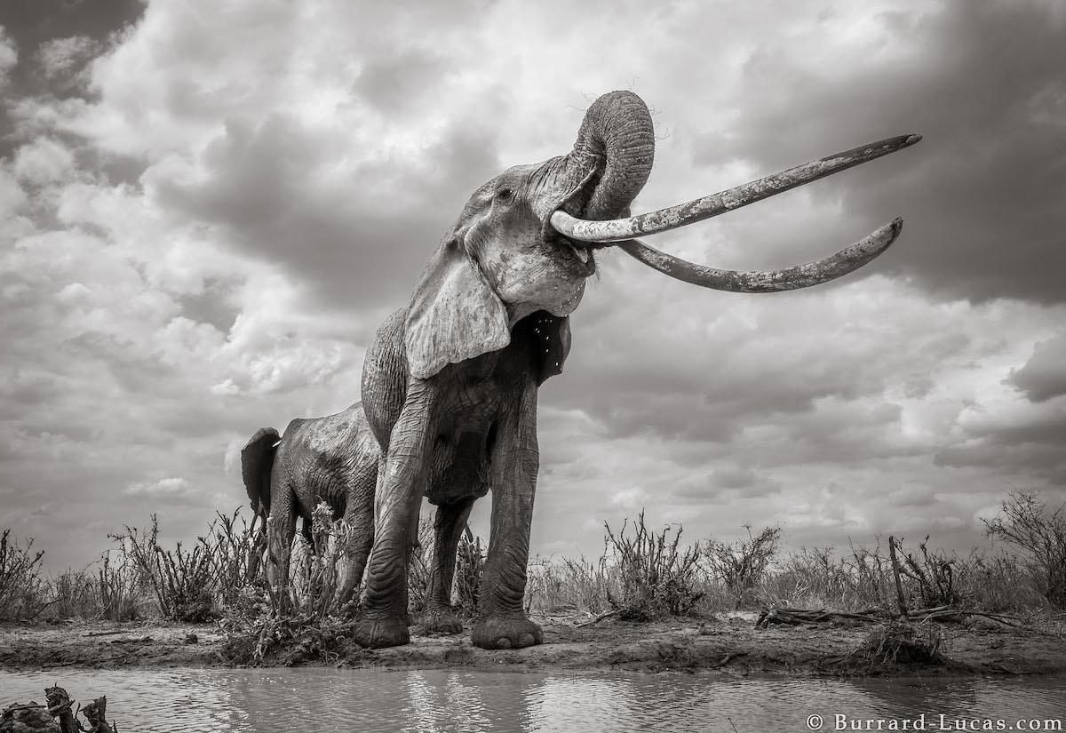 elefantes de grandes colmillos en Kenia por Will Burrard-Lucas