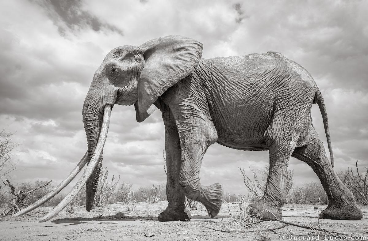 Tsavo Elephants in Kenya