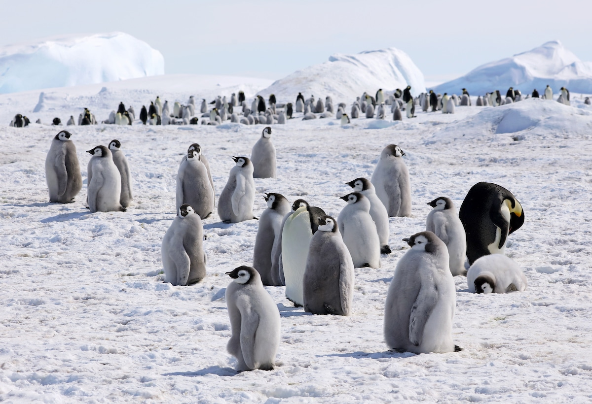 Photo of Emperor Penguins in Antarctica