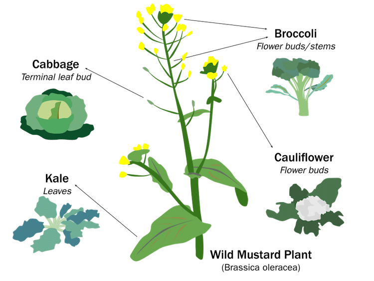 Selective Breeding of the Wild Mustard Plant