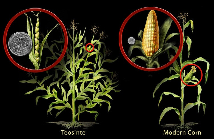 Development of Corn