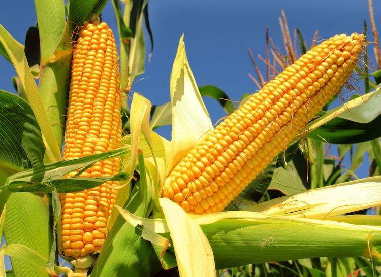 History of Corn