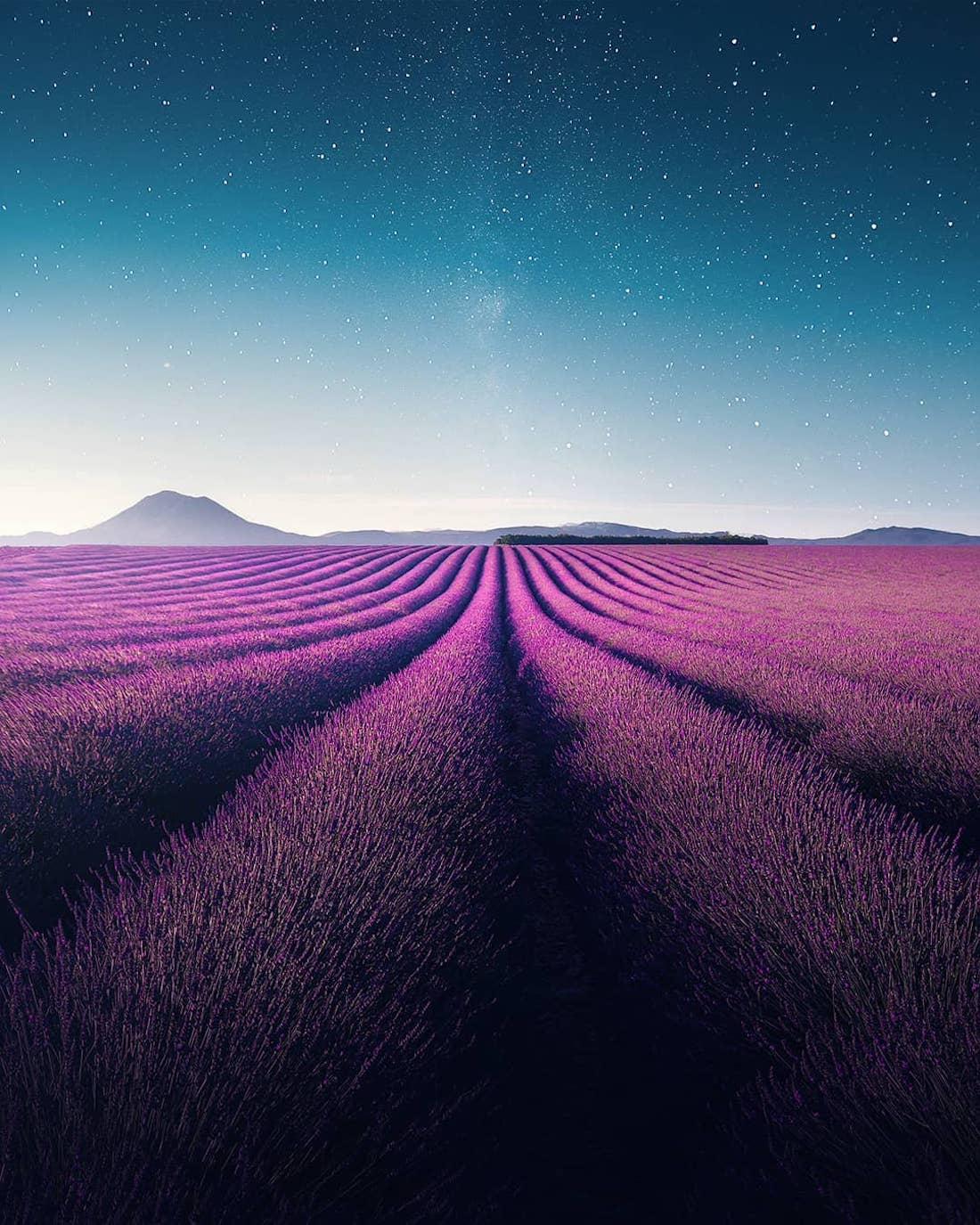Aerial Video of Lavender Field