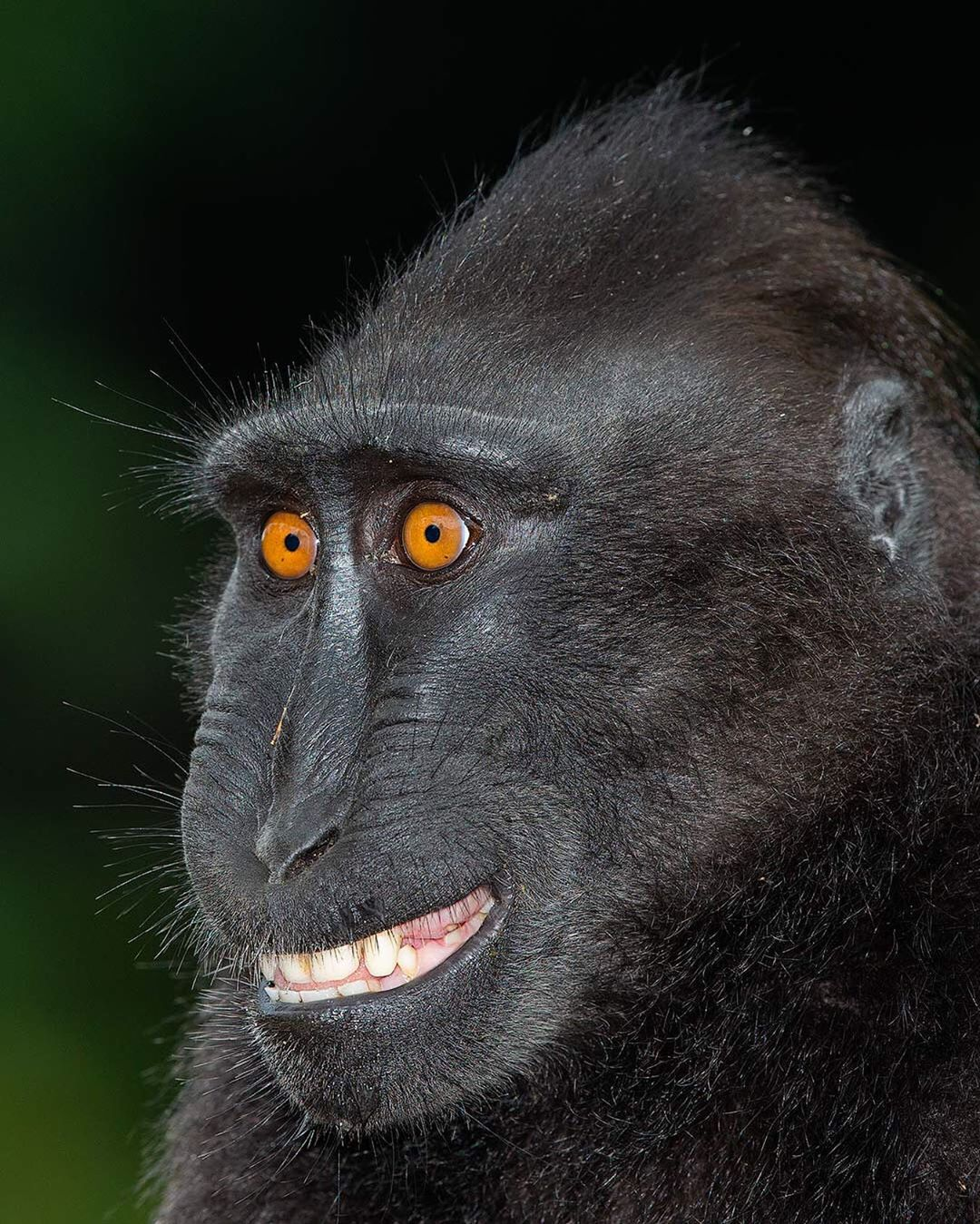 Black Crested Macaque Photog by Mogens Tolle