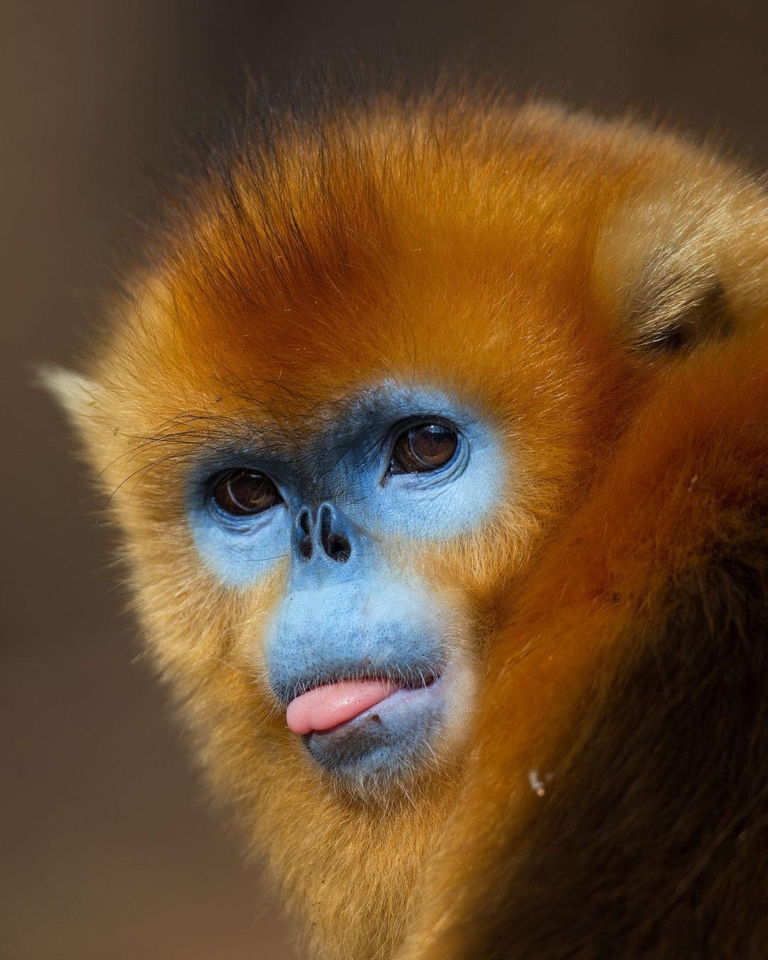 Golden Snub-Nosed Monkey Photo