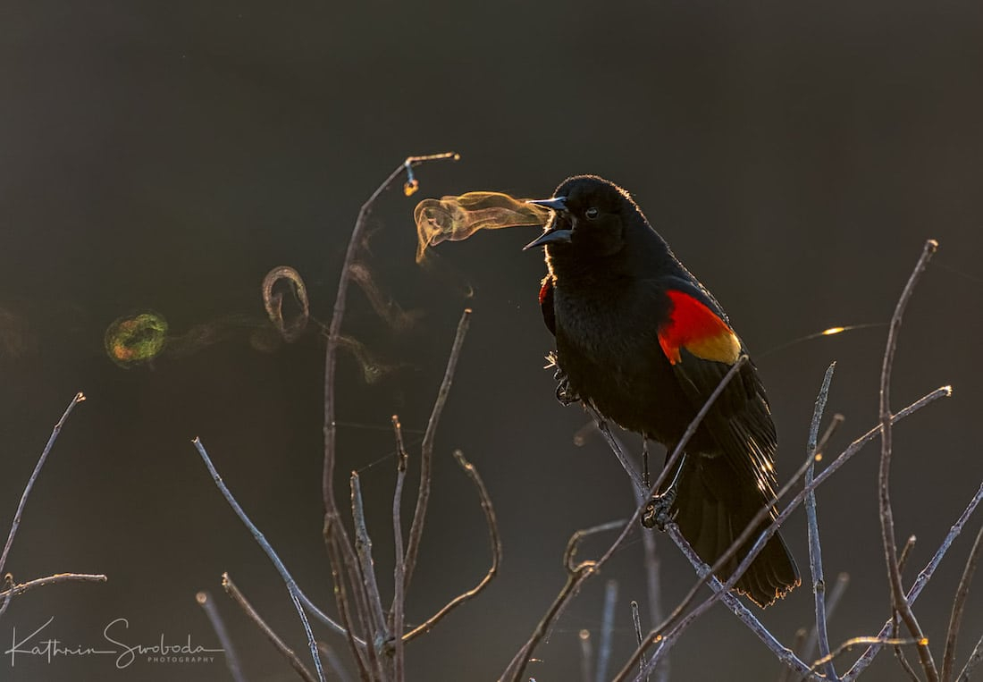 Red-Winged Blackbird Photo