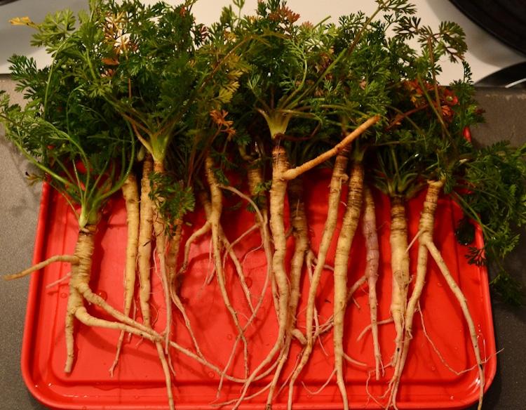 Wild Carrots