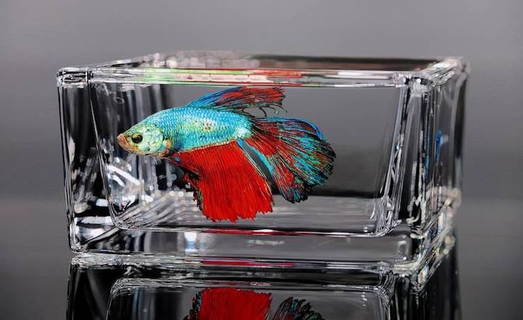 Hyperrealistic Oil Painting of a Beta Fish by Young-sung Kim