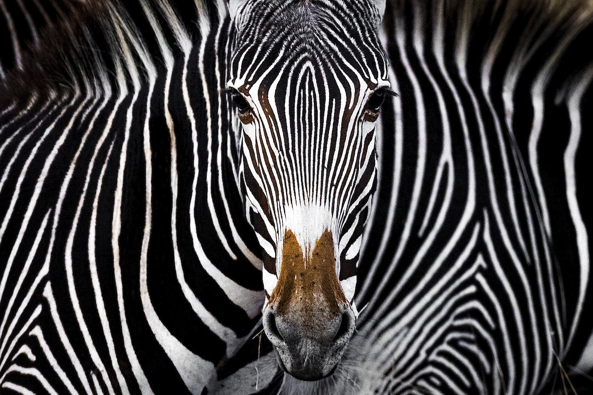 Award Winning Photo of a Zebra