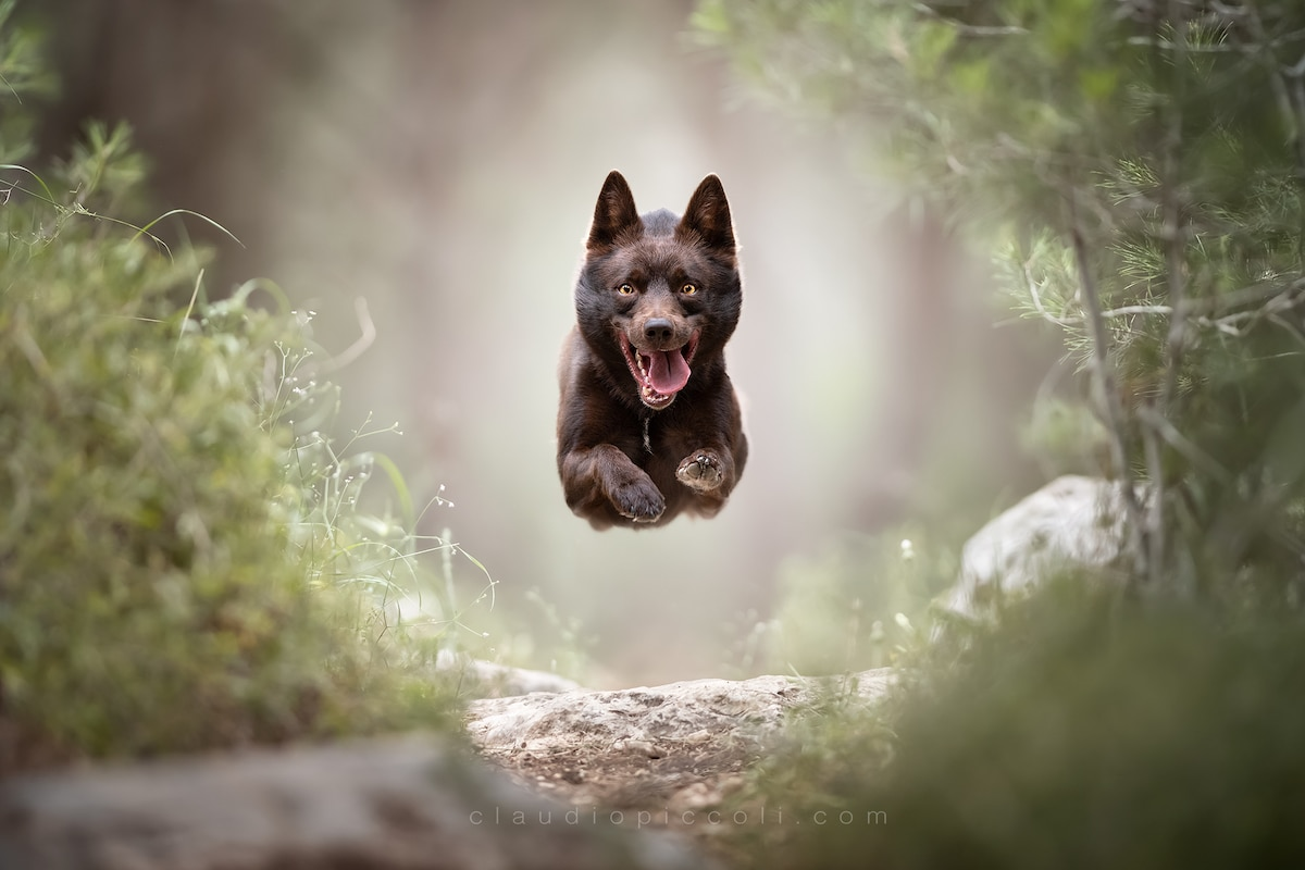 Photos of Dogs in Mid-Air by Claudio Piccoli