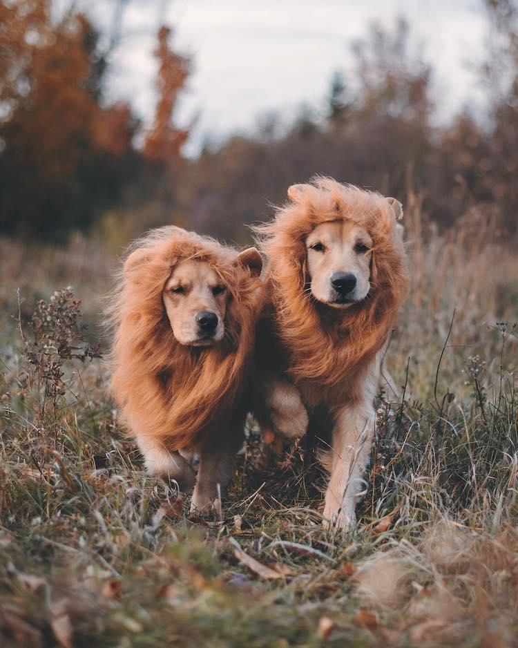 Cute Golden Retriever Pics