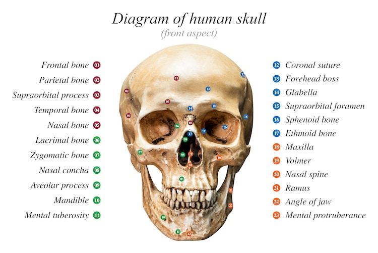 partes del cráneo en inglés