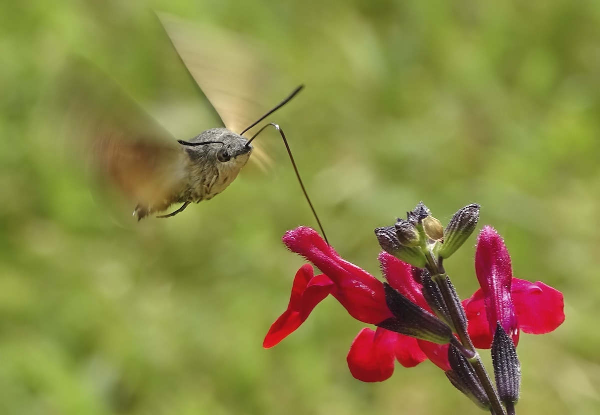 Hummingbird hawkmoth drinking nectar from a plant