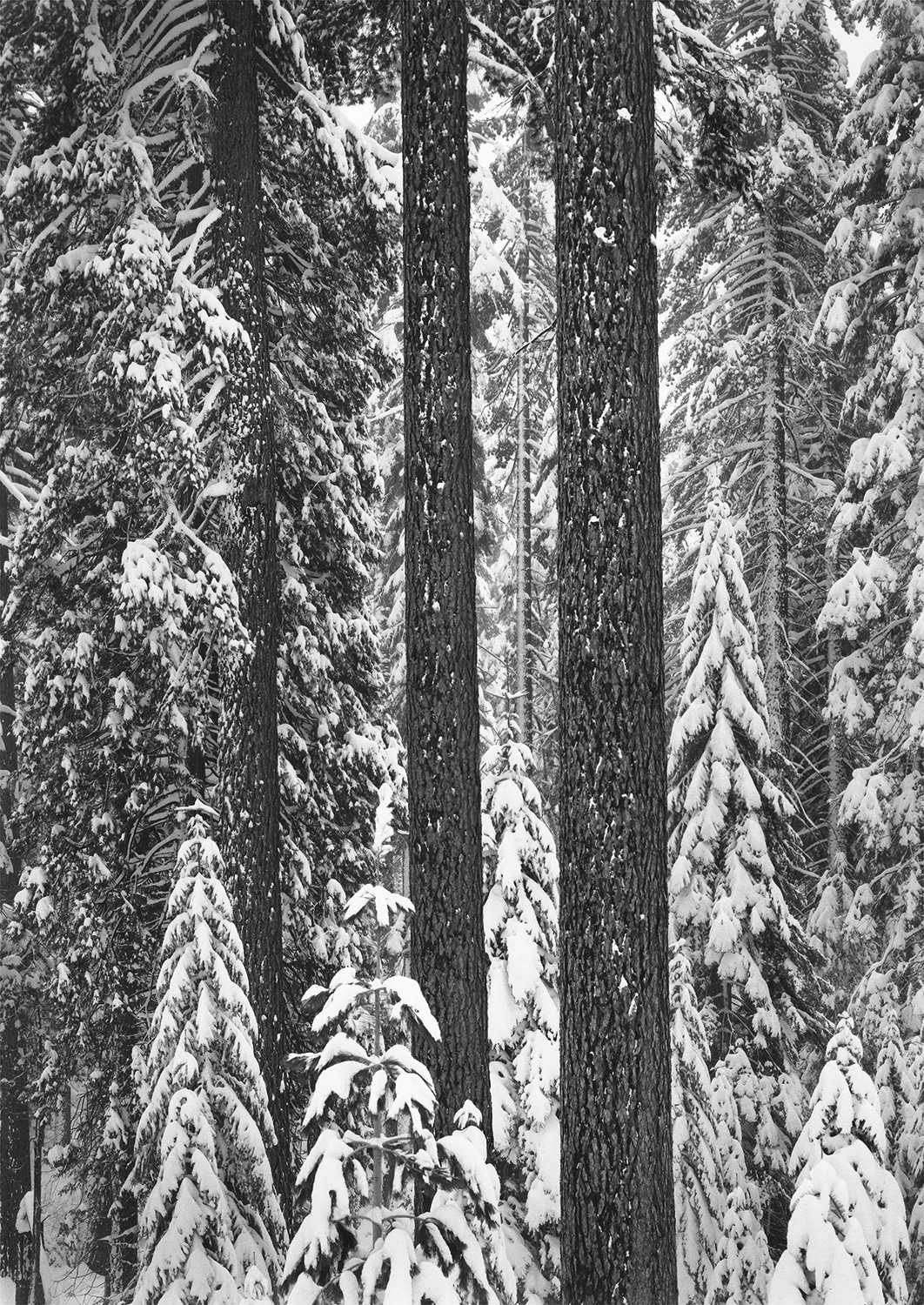 Forest in Snow by Ansel Adams