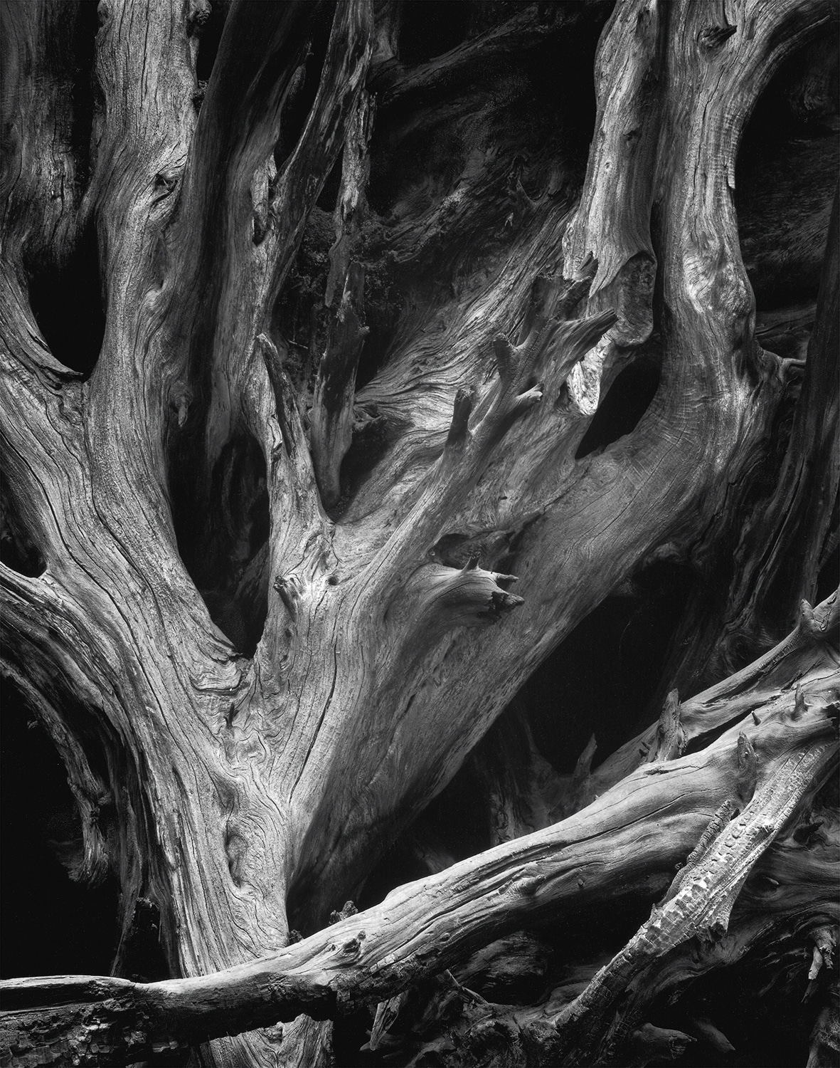 Sequoia Roots by Ansel Adams