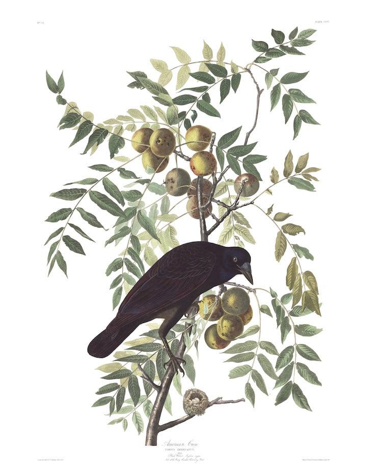 American Crow Audubon Print
