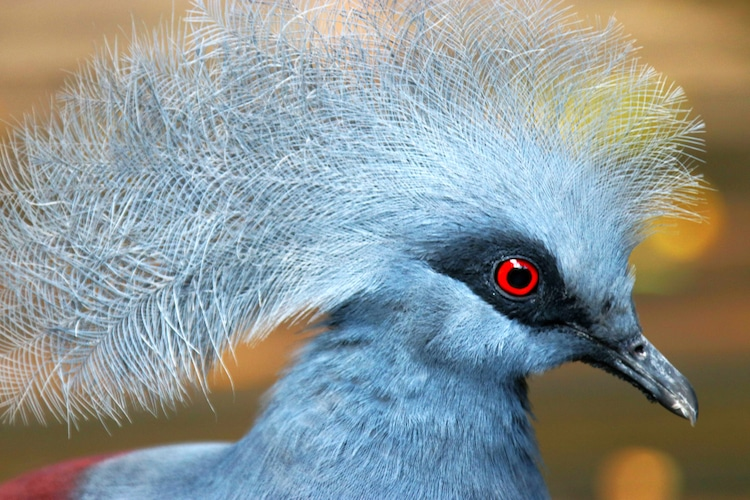 Common crowned pigeon