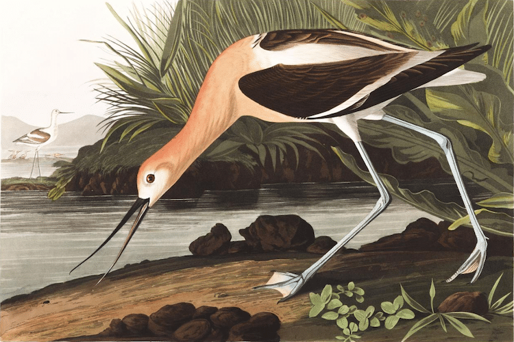 American Avocet Audubon Print