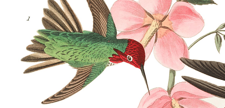 Columbian Hummingbird Audubon Print