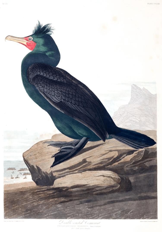 Double-crested Cormorant Audubon Print