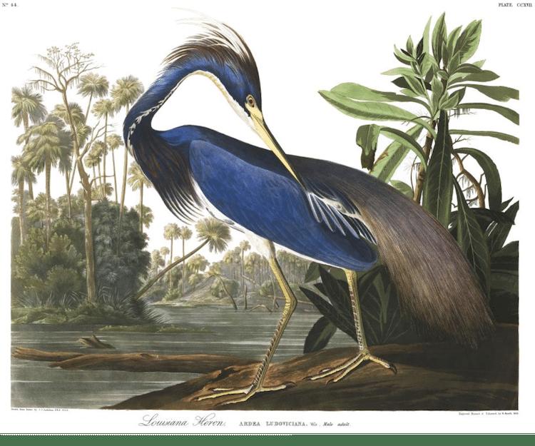 Louisiana Heron Audubon Print