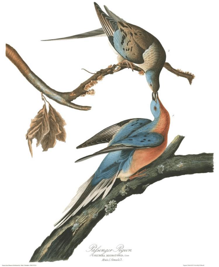 Passenger Pigeon Audubon Print