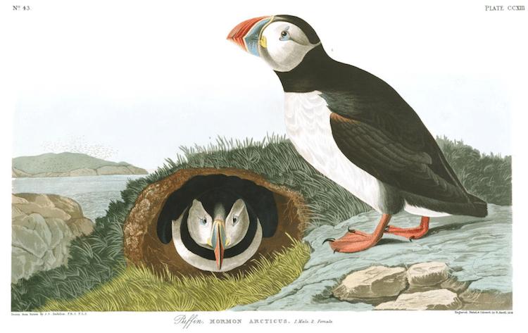 Puffin Audubon Print