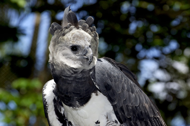 How Big is the Harpy Eagle?