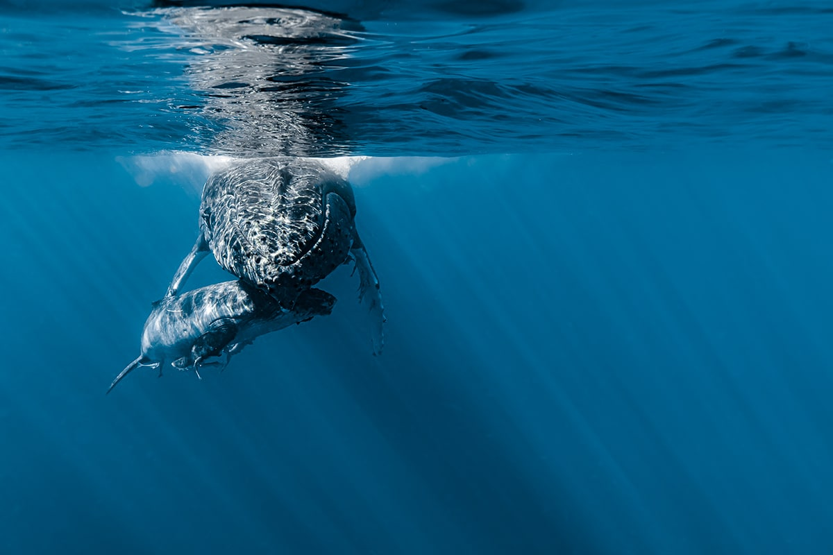 Underwater Whale Photography by Jasmine Carey