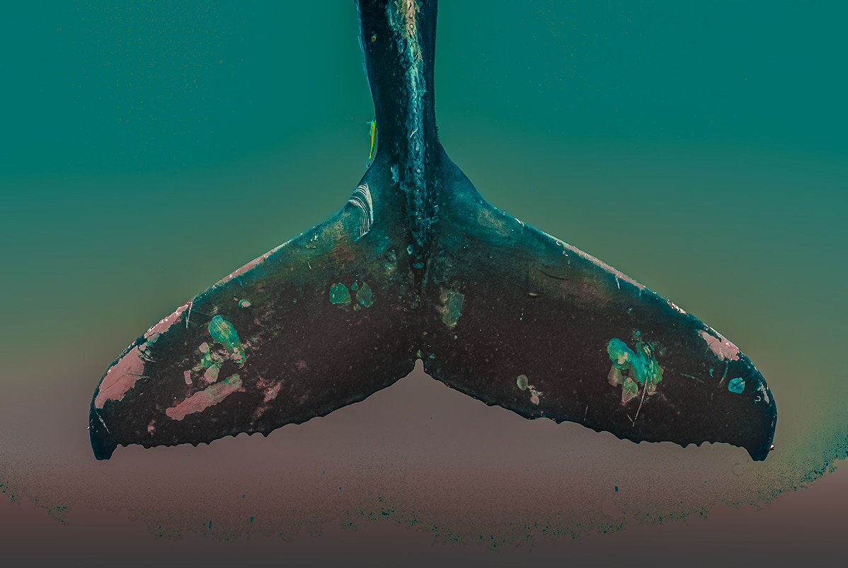 Artistic Photo of a Whale Fin by Jasmine Carey