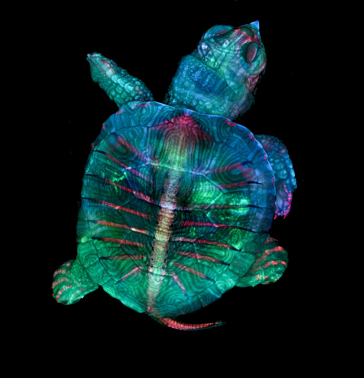 Fluorescent turtle embryo - Winner