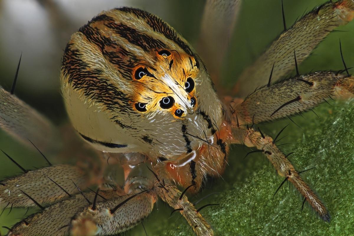araña Oxyopes dumonti