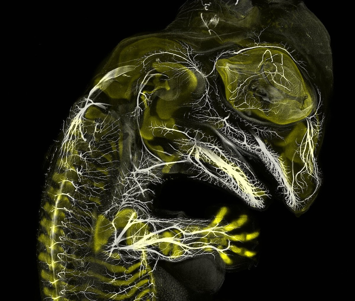 Alligator embryo developing nerves and skeleton