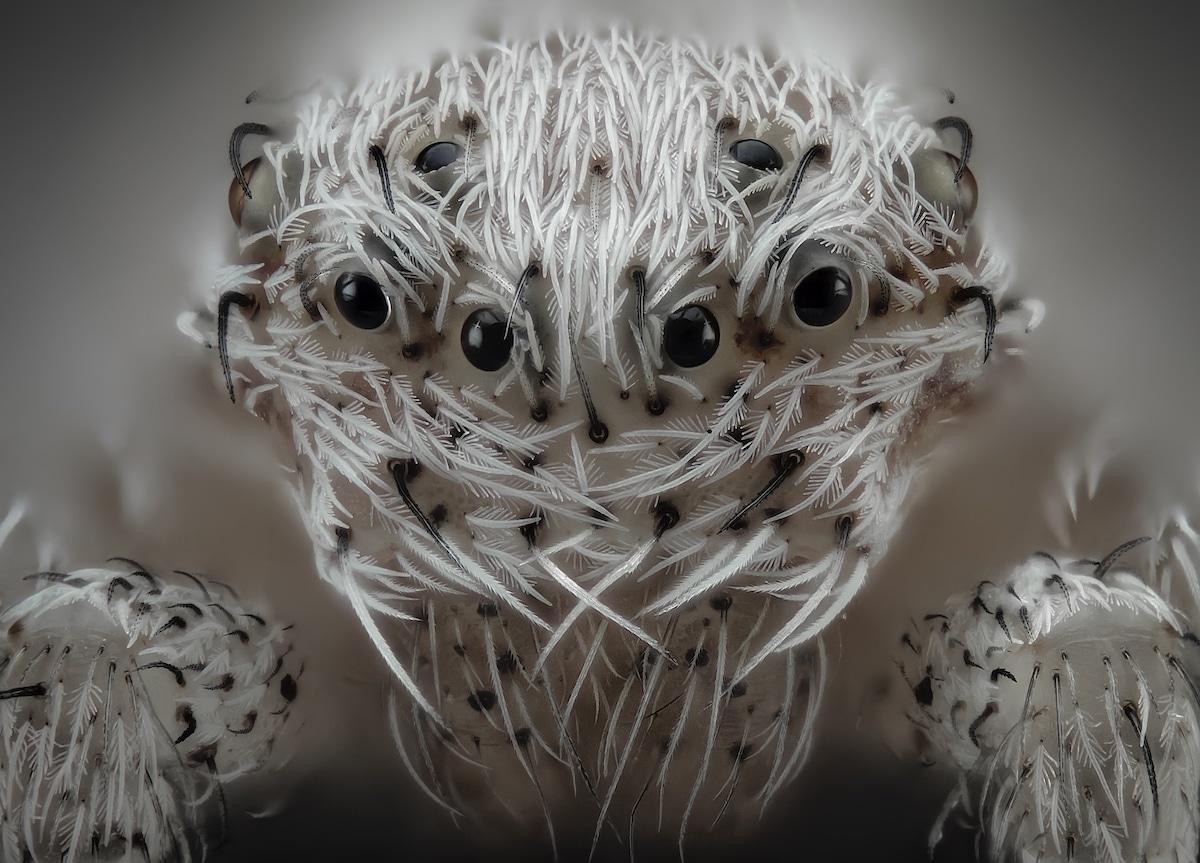 araña blanca peluda