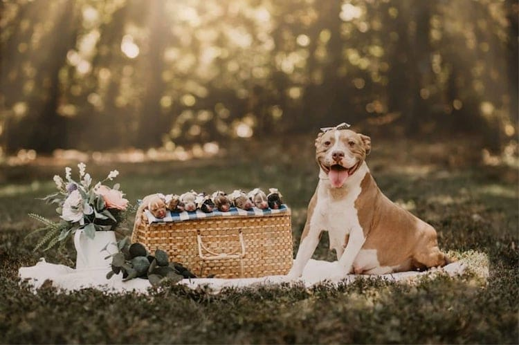 Pit Bull Maternity Shoot by Enchanted Hills Photography