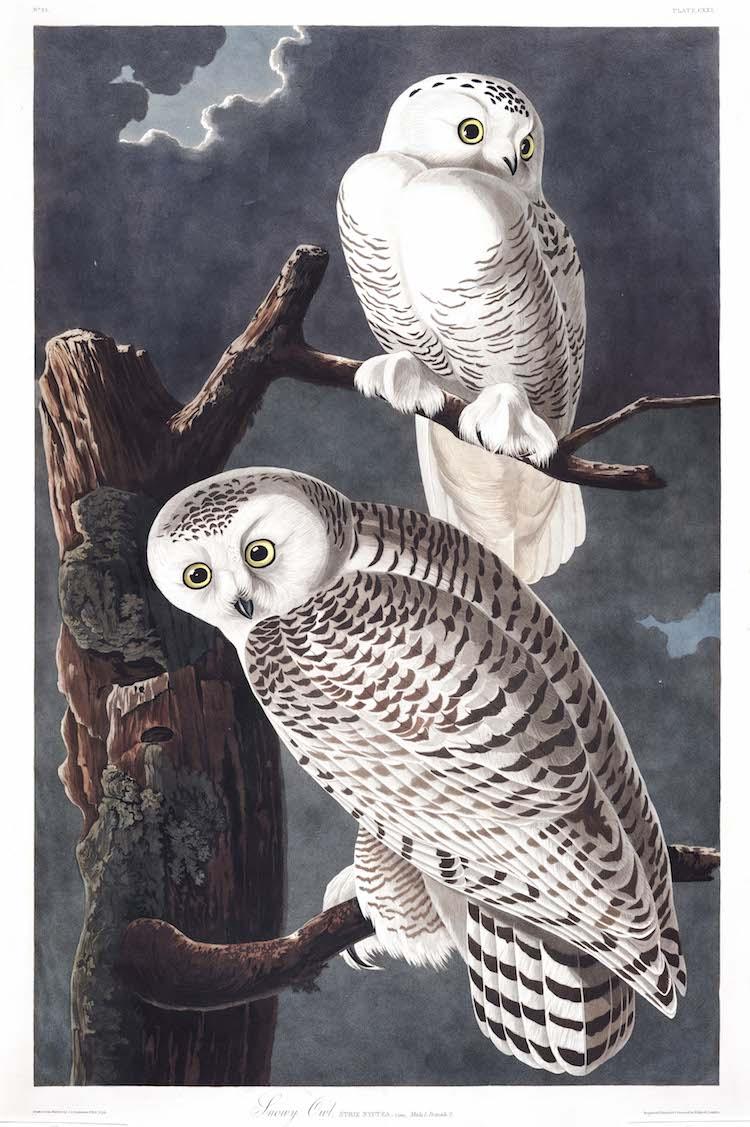 Snowy Owl Audubon Print