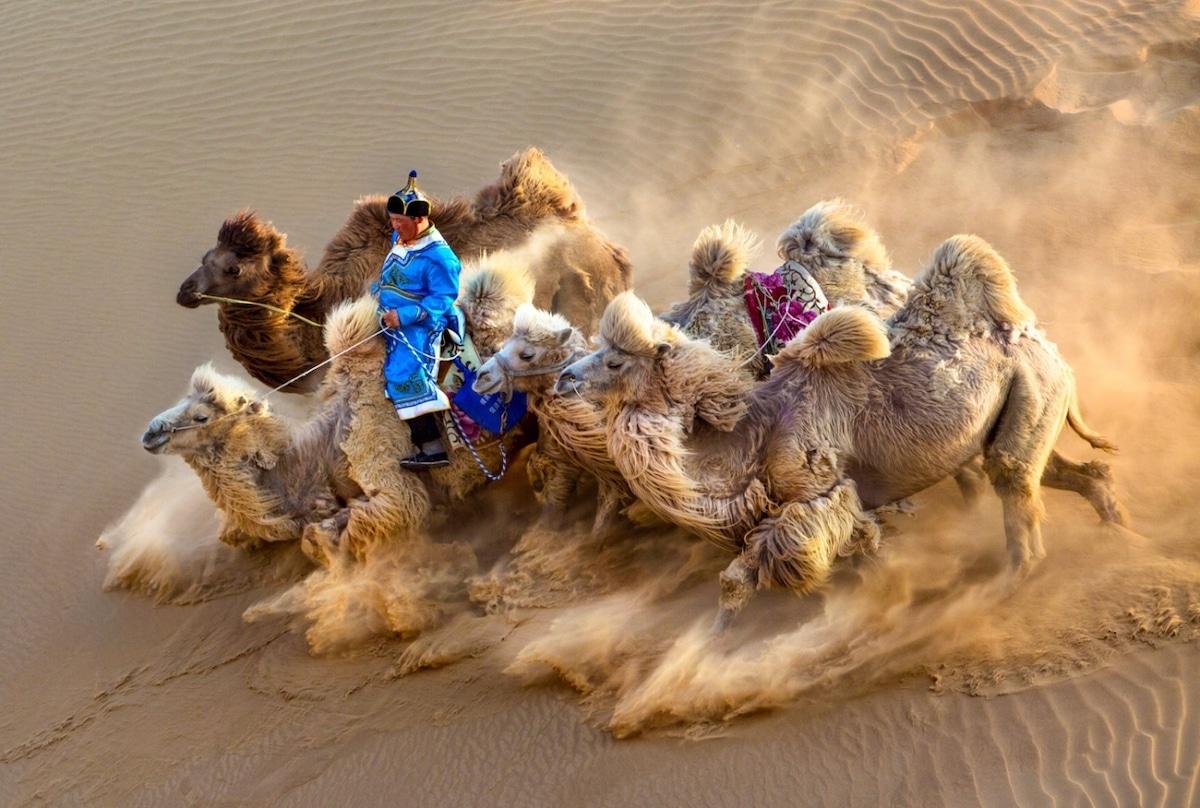 Camellos arrodillados en la arena