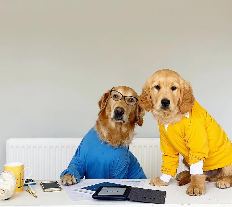 Funny Golden Retirever Photos by Ursula Atichison