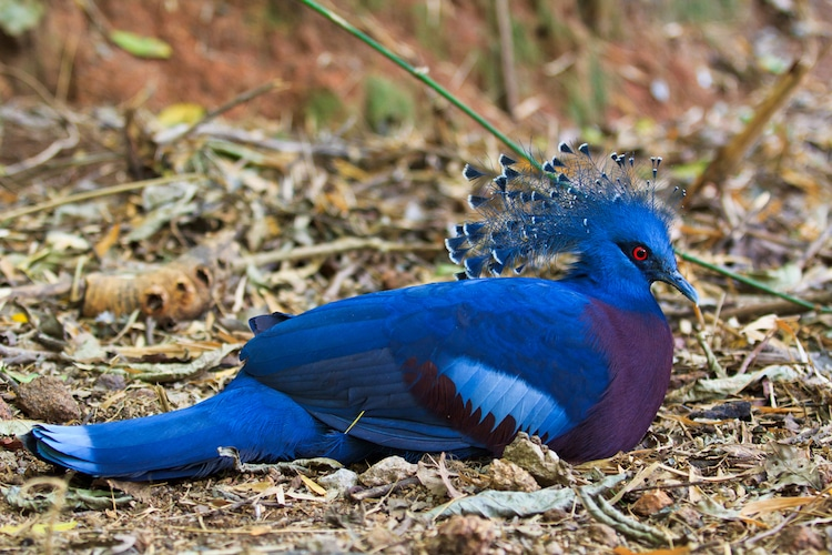 Victoria Crowned Pigeon Sitting on the Ground