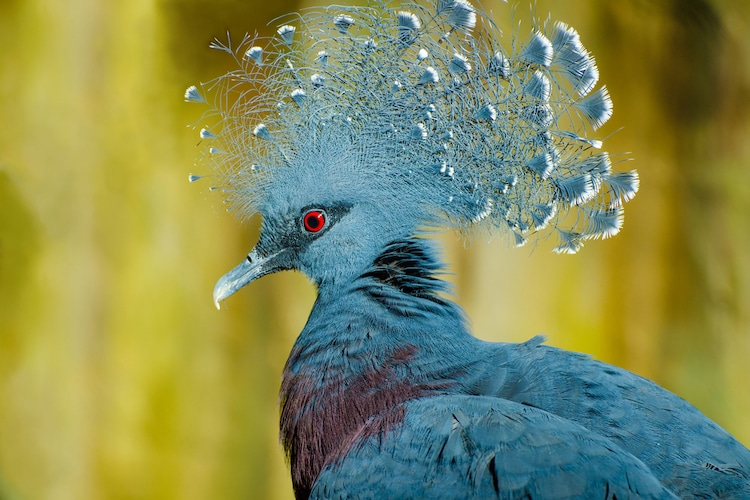 Crested Feathers of a Victoria Crowned Pigeon