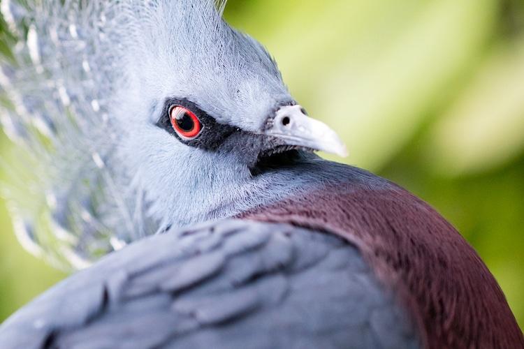 Acercamiento de paloma crestada Victoria